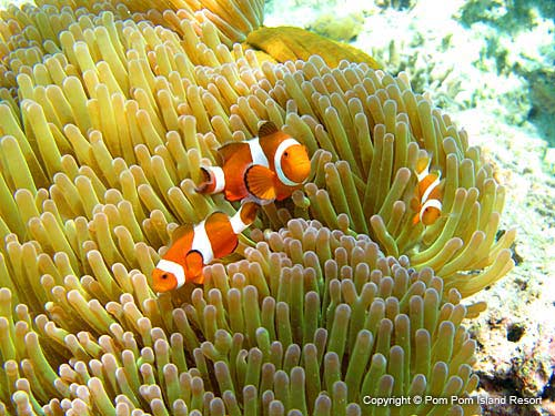 clown-fish-new.jpg