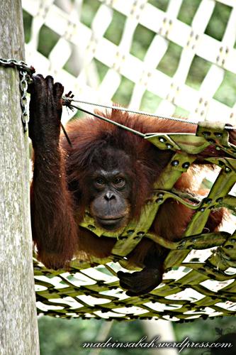 randompics10_orangutan_8833